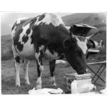 Cow eating Huntley & Palmers biscuits, 1954